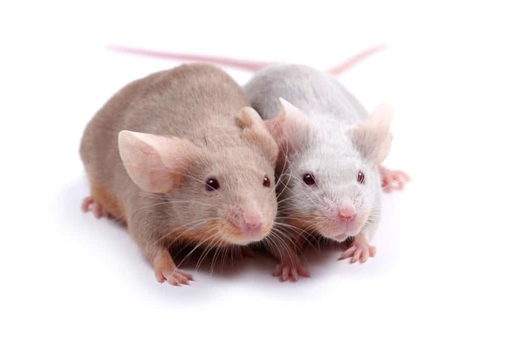 Researchers Say That Animal Testing Isn't Helping Humans 1