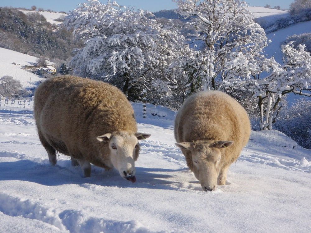The Story Behind Fleecehaven Sheep Sanctuary in Exmoor 1