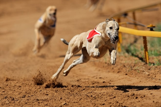 greyhound racing mistreatment government committee