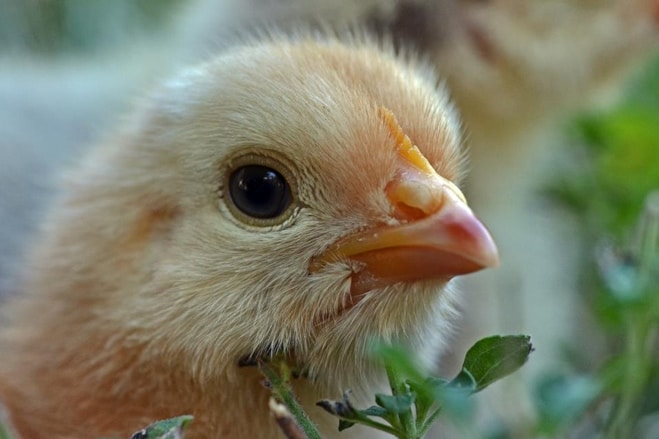 chicken companion animal rights una gallina per amica