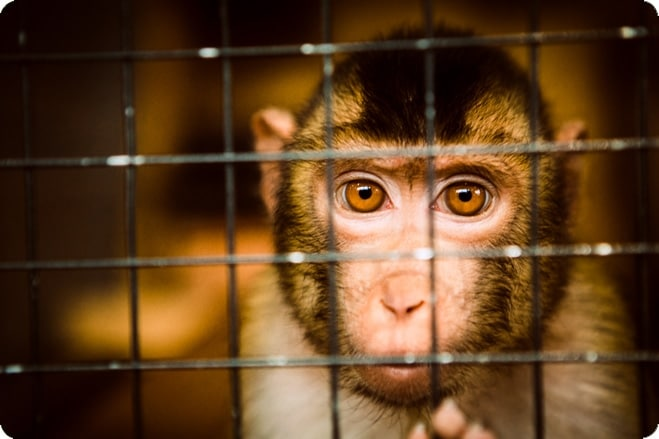 Fighting for Primates – Why are So Many Still Subjected to Experiments?