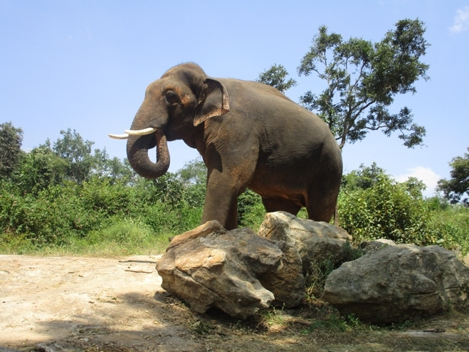 sunder indian elephant abused freedom