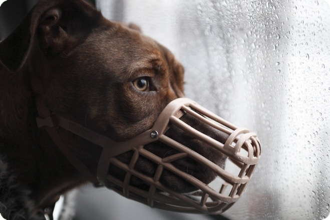 Breed Specific Legislation Means Gentle Dogs are Euthanised
