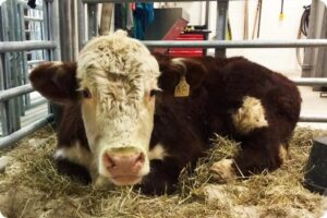Dudley, The Tennessee Cow, Dies Of Ruptured Stomach Ulcer 9