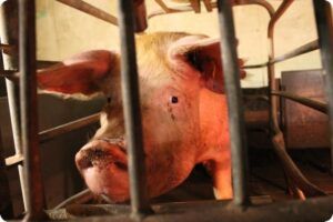 Distressing Footage Of Pig Farm Exposes Dirty Truth 4