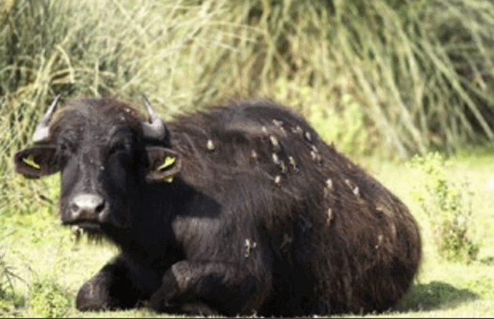 These Frogs are Hitching A Ride On Water Buffaloes 1