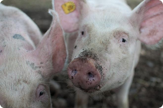Chris Moore - The Truth About British Pork and Animal Welfare
