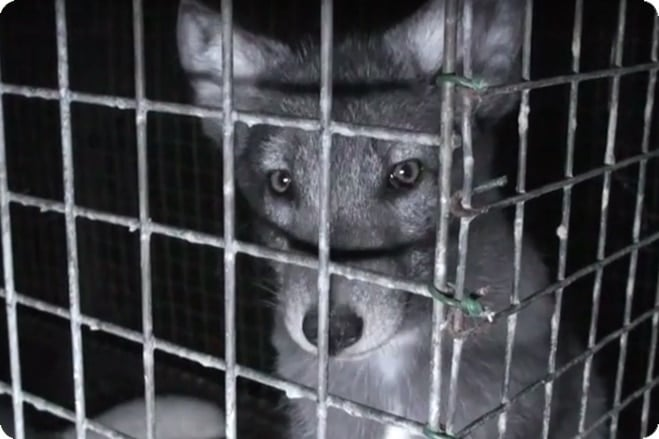 Heartbreaking Fur Film Caught By Hidden Cameras