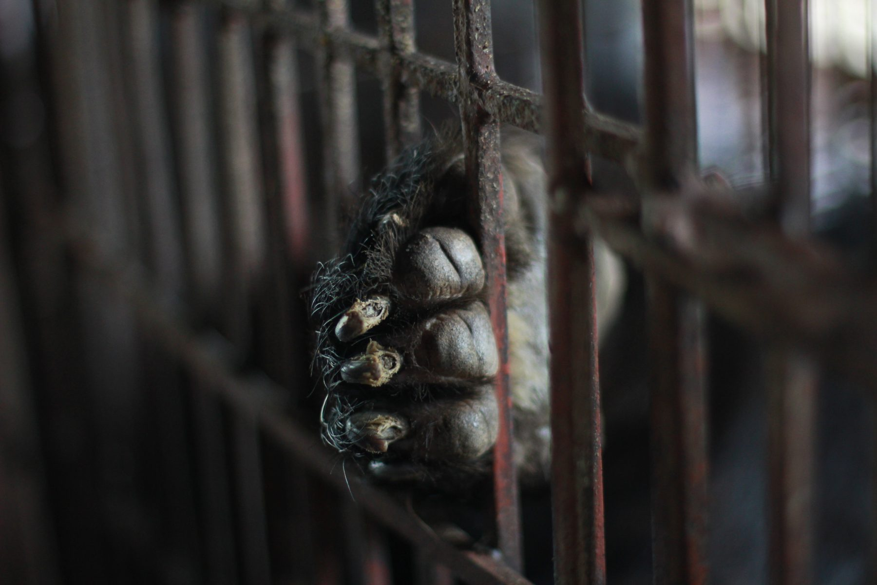 How Much Can You Bear? New Campaign Exposes Vietnam's Bear Bile Farms 1