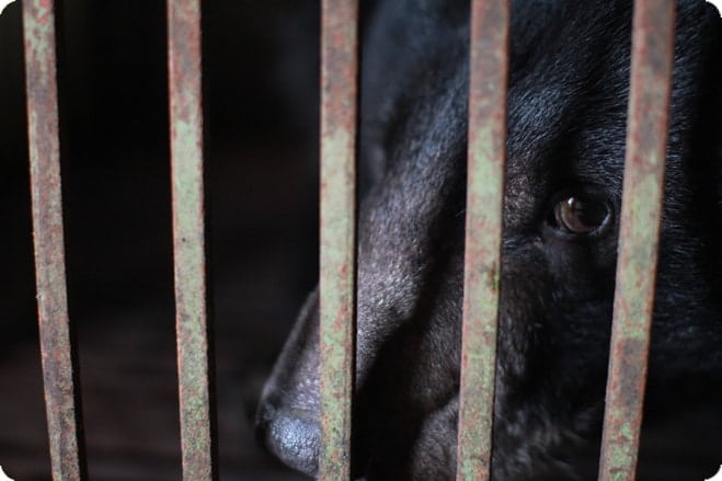 How Much Can You Bear? New Campaign Exposes Vietnam's Bear Bile Farms
