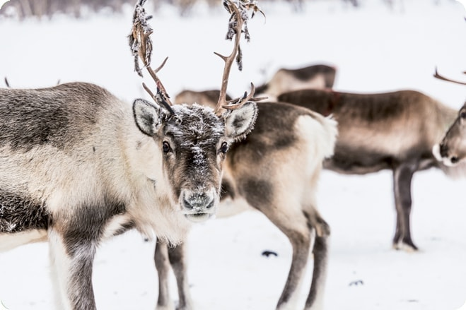 Spare a Thought – The Exploitation of Reindeer