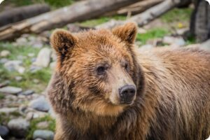 British Columbia Bans All Hunting Of Grizzly Bears 6
