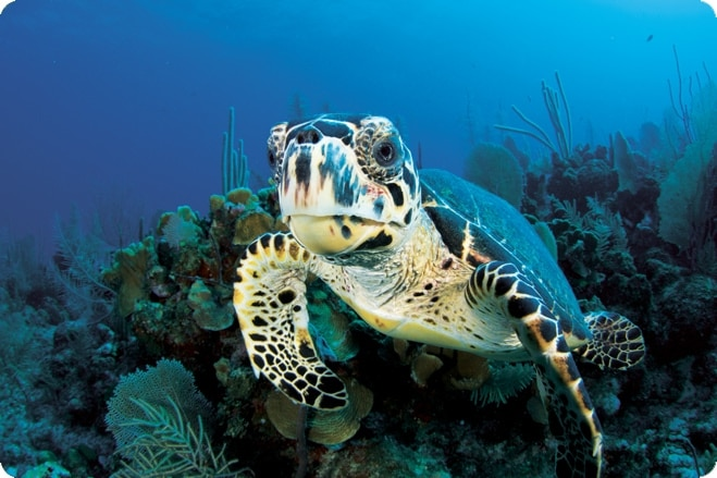 Hawksbill Turtle in Focus