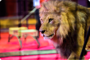 UK Government to Ban Wild Animal Circuses by 2020 7