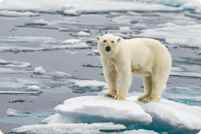 Polar Bears Could Face Extinction Sooner Than Predicted