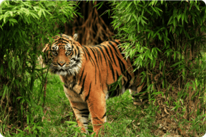 Tigers Could Vanish From a Third of Protected Areas 10