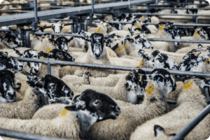 UK Government Propose Banning Live Animal Exports after Brexit 6