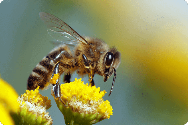 EU Bans Insecticides Contributing to Honeybee Losses