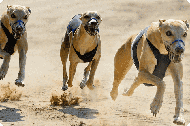 Greyhound Racing Made Illegal in Canberra, Australia