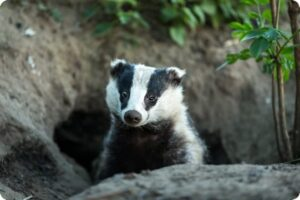 RSPCA Announce Michael Gove as Politician of the Year, Despite Increasing Badger Culls 2