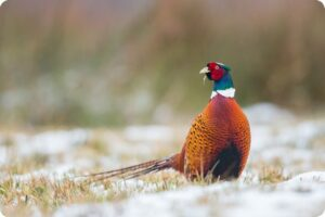 Pheasant Shooting to be Banned in Wales, Following New Ruling 6