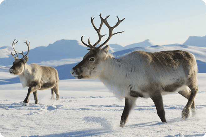 Spare a thought for reindeer this Christmas