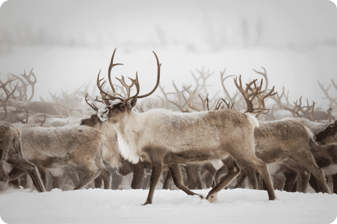 Spare a thought for reindeer this Christmas 2