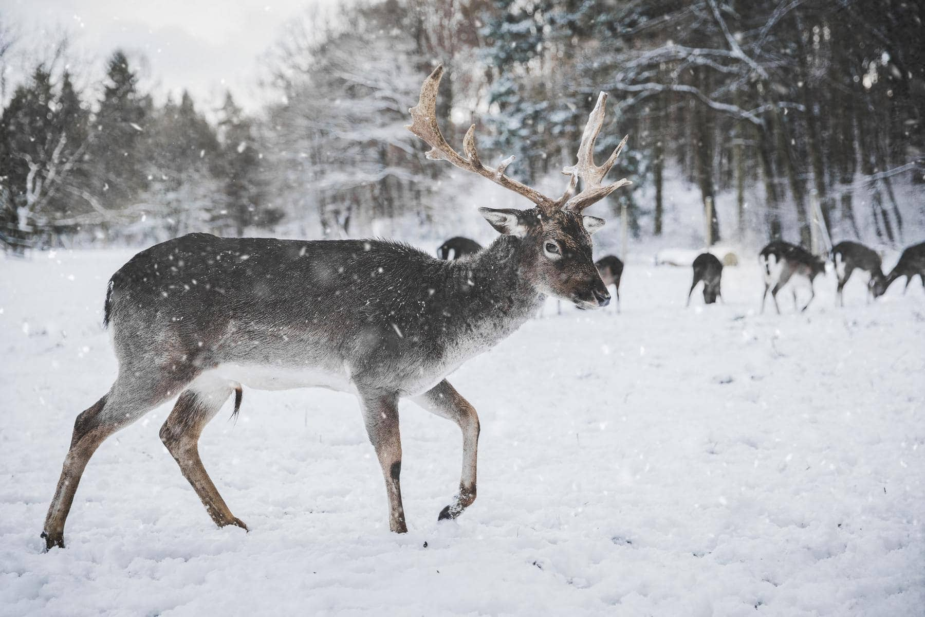 Spare a thought for reindeer this Christmas 1