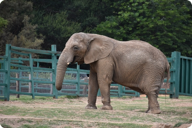 Calls for Johannesburg Zoo to rehome lonely elephant to sanctuary