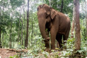 Elephant in Mondulikuri in Cambodia