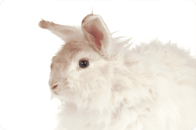 The Agony Behind Angora
