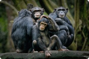 Chimpanzee meat sold in UK