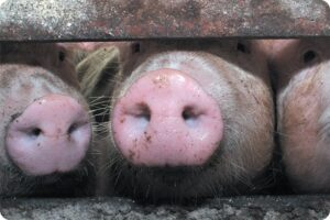 The Truth About British Pork and Animal Welfare 5