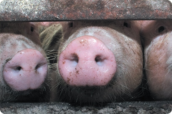The Truth About British Pork and Animal Welfare