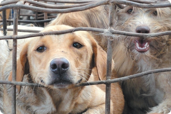 The Fight to End the Dog Meat Trade
