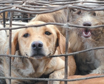 The Fight to End the Dog Meat Trade 1