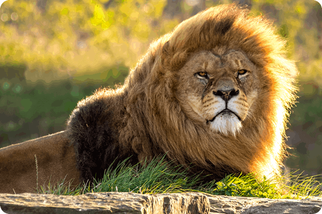 Circus big cats begin a new life in South Africa