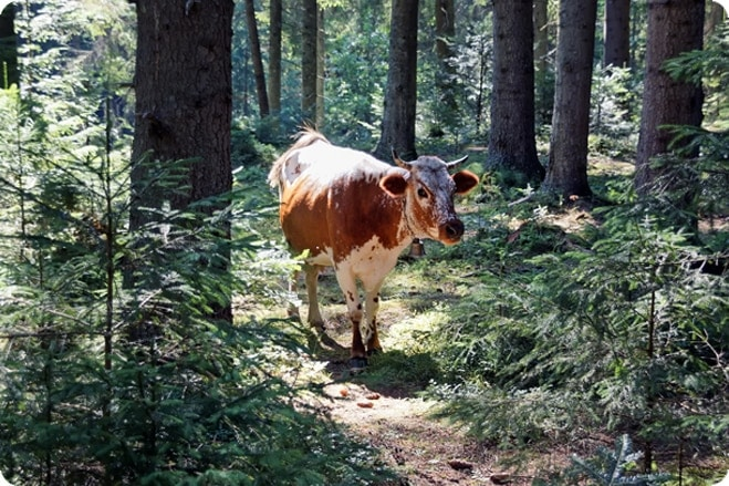 Crafty cow hides out in the woods after escaping slaughter